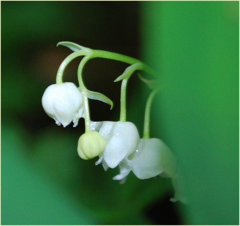 may-lily