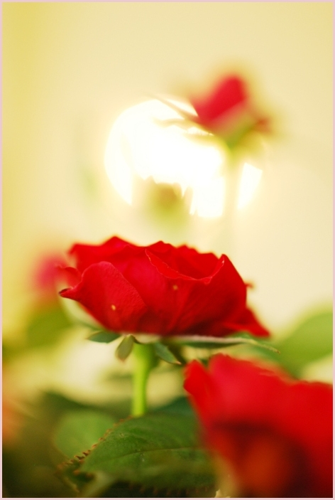 roses and light