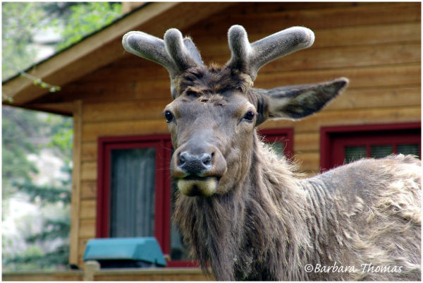 Elk's New Antlers