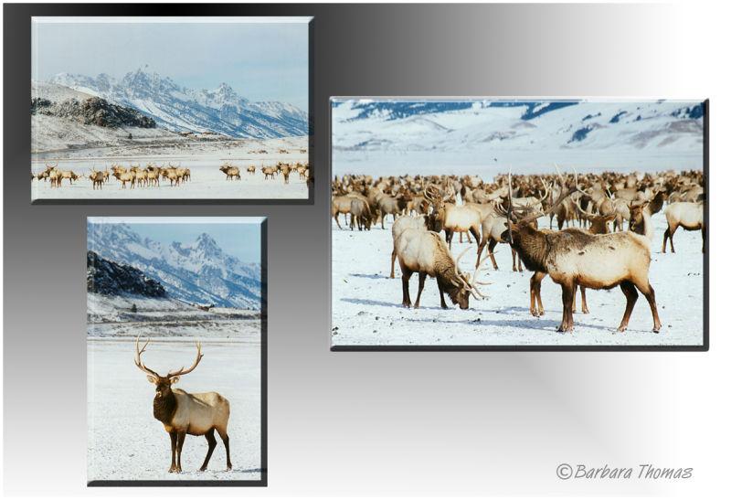 Grand Teton Elk #8