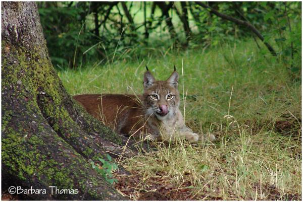 Siberian Lynx 2