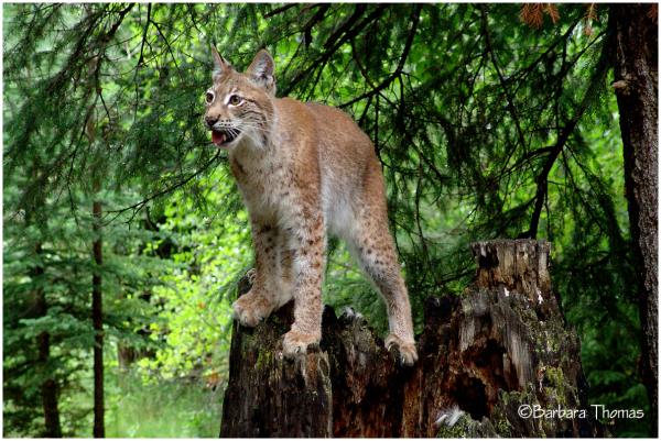 Siberian Lynx 3