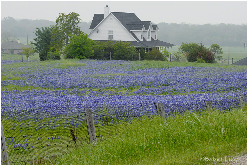 Foggy Bluebonnets