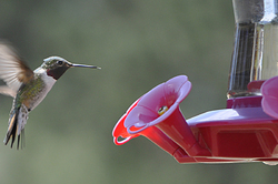 Colorado Humming Bird