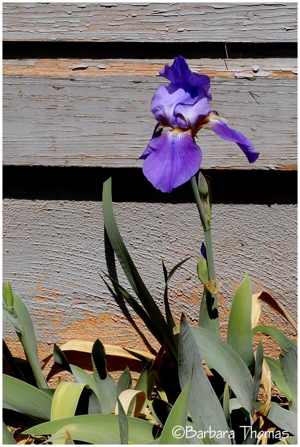Summer Iris