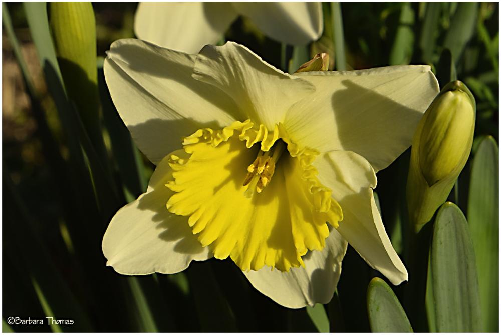 Last Daffodil