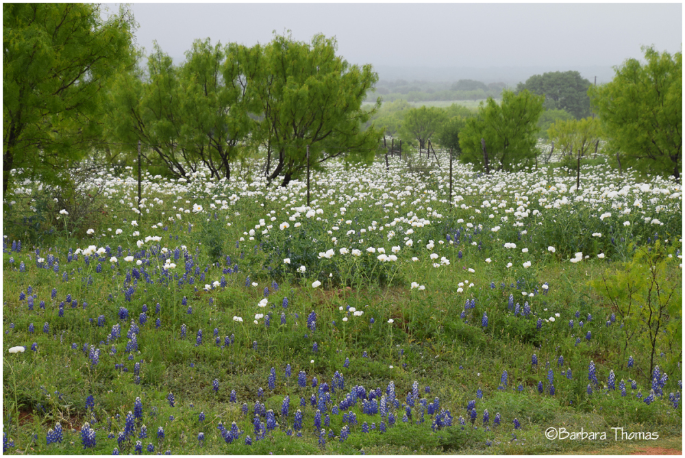 Poppies and Mesquite
