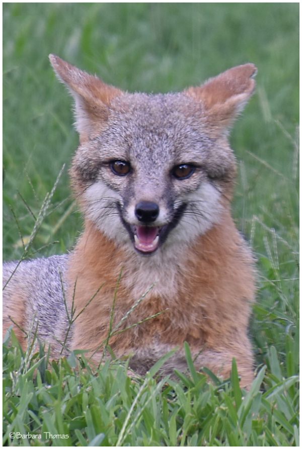 Grinning Fox ❤