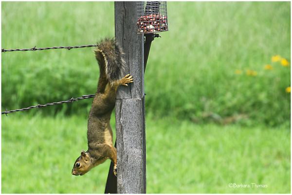 Peanut Thief