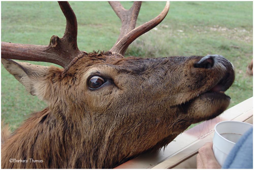 Silly Elk