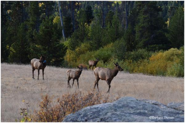 Elk Bling