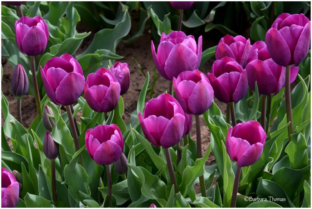 Texas Tulip Story -1