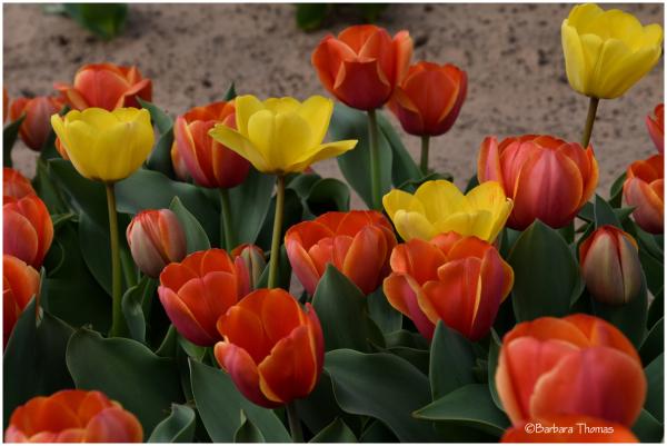 Texas Tulip Story - 2