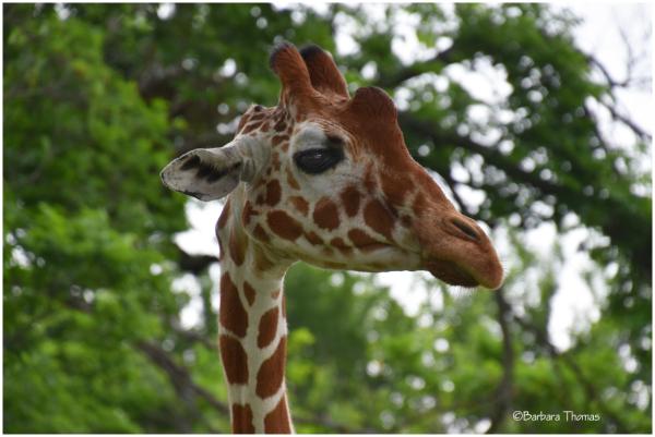 Giraffe Checking Us Out