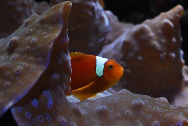 Clownfish Dallas World Aquarium