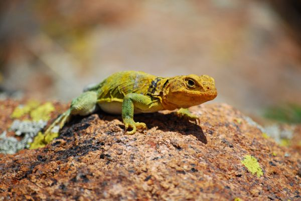Yellow Collared Lizard Mountain Boomer Wichita