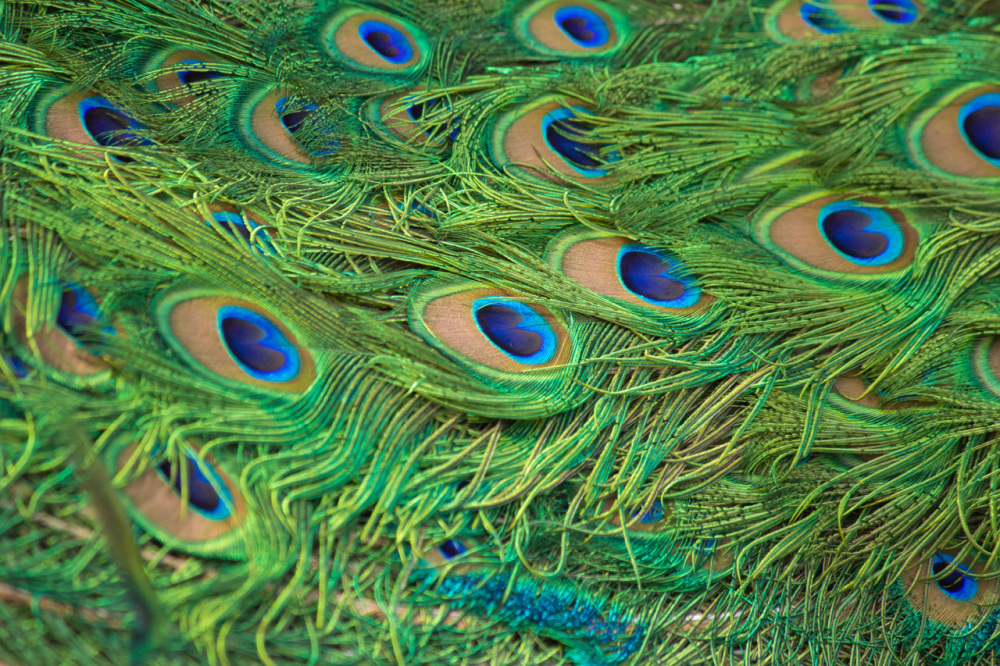 Peacock's Feather / Pfauenfedern