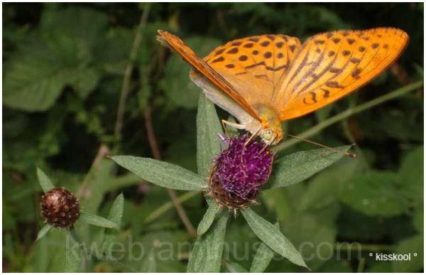 Papillon photographié dans les Pyrénnées