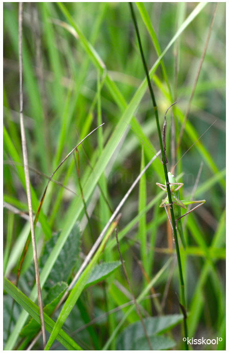 sauterelle en forêt de fontainebleau (aout 2010)