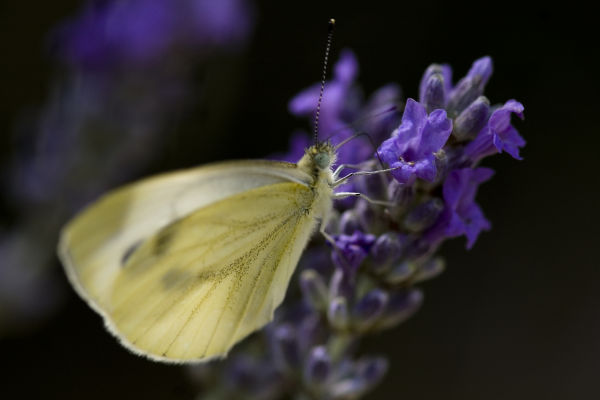 Butterfly in lavender