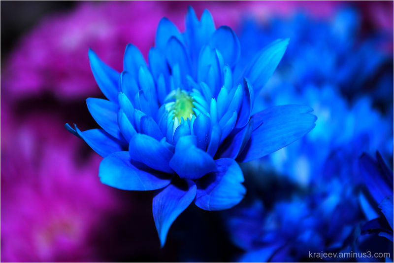 blue chrysanthemum