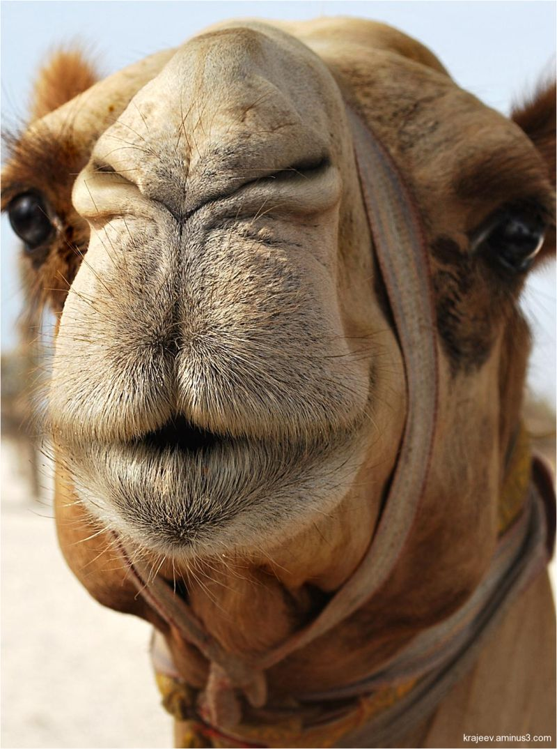 camel head close-up