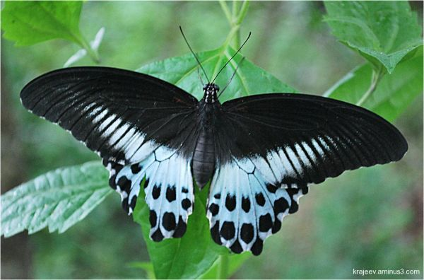 butterfly - Blue Mormon