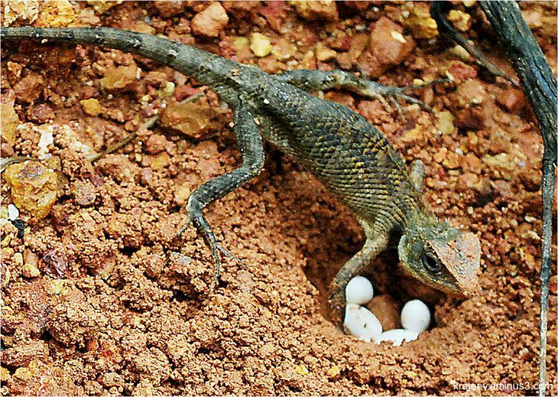 animals that lay eggs - photo #25