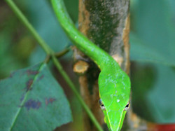 The Green vine snake -9