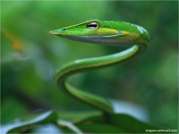 The Green vine snake (Ahaetulla nasuta)