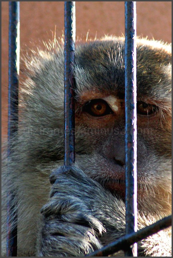This monkey was jailed in a zoo