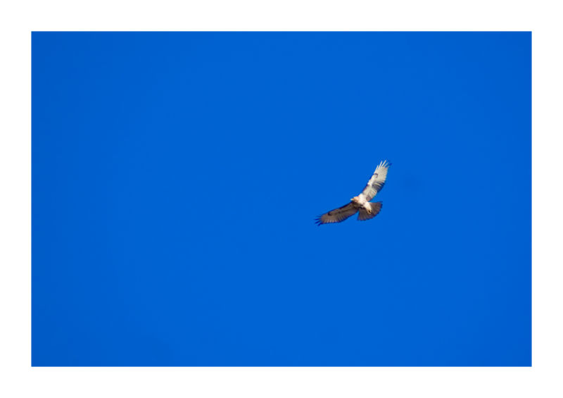 hawk animal bird sky blue