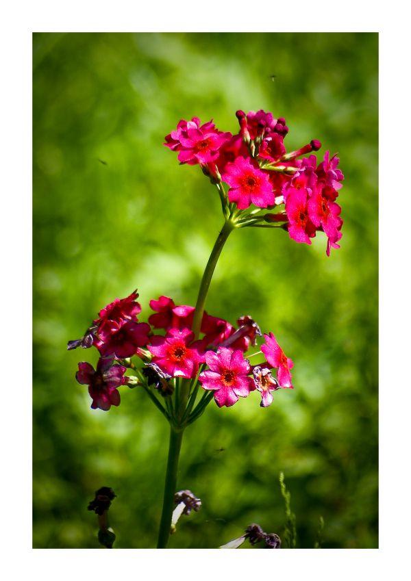 flower close-up macro Candelabra Primula