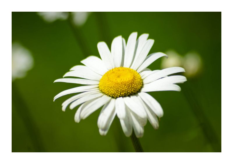 Iran, election, daisy, flower