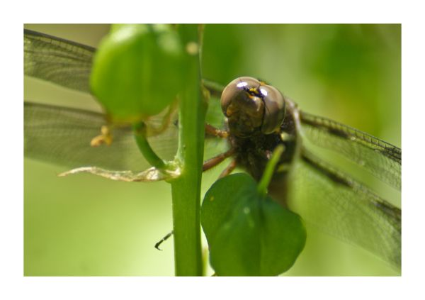 closeup, dragon, Fly, macro