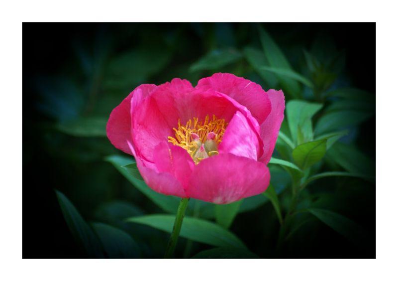 Monday Flower: Peony