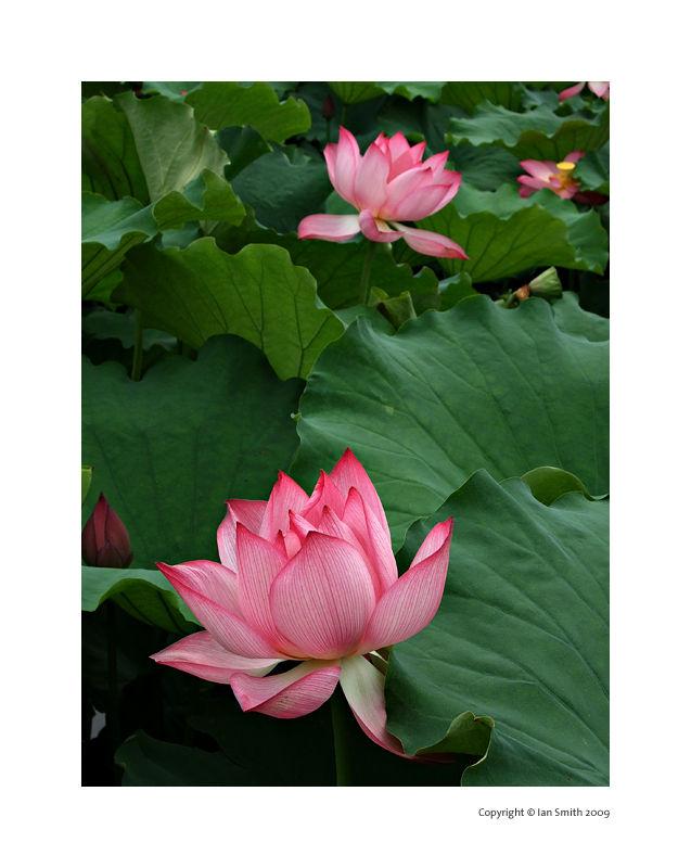 lotus flower beijing