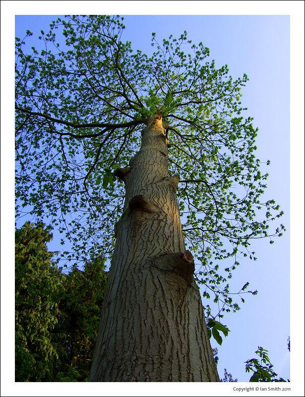 Tree, Sandringham Estate, Norfolk