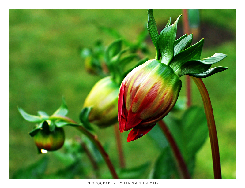 Large Dahlia buds