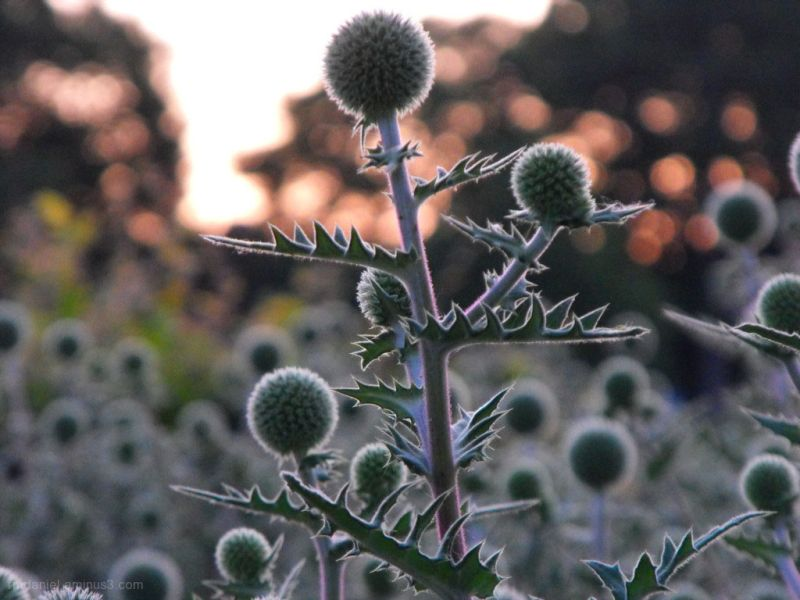 thistles at sunrise