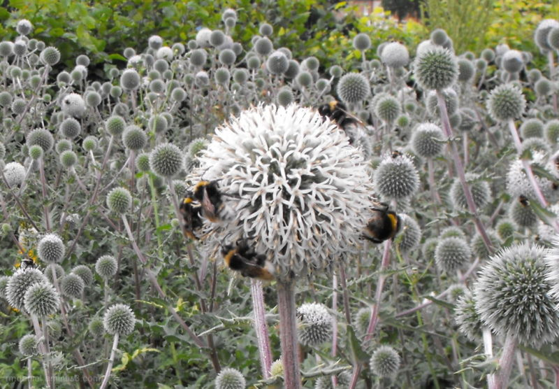 bee's on a globe thistle