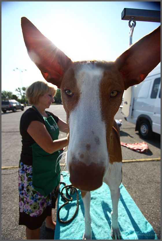 Ibizan Hound Grooming Dog Ears