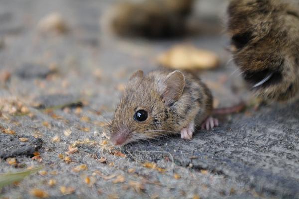 Tricher au jeu du chat et de la souris