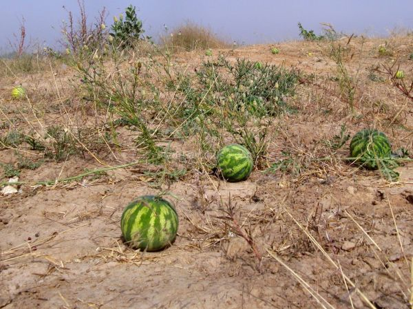 Maiduguri, Nigeria, Lake Alo, Melon