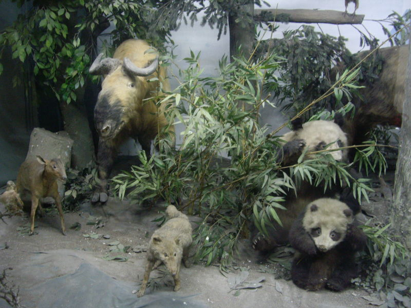 Display case, Panda Centre, Chengdu
