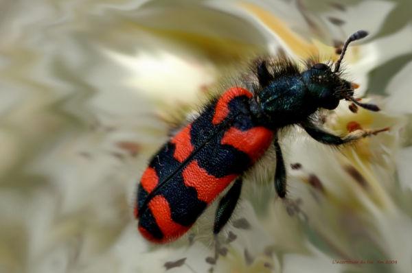 Le Rouge et le Noir : Insecte