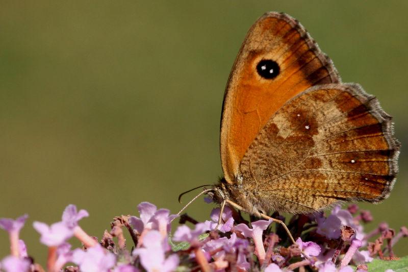 Insecte : Le papillon orange