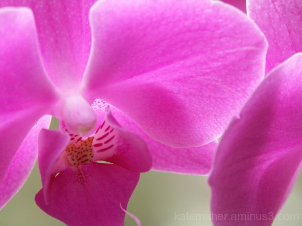 *PINK ORCHID FOR VALENTINES*