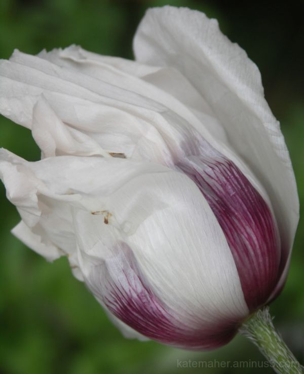poppy-another view
