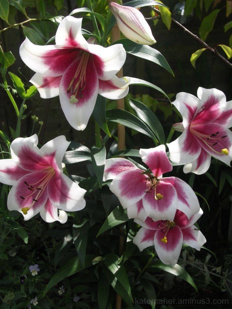 more of my tree lillies